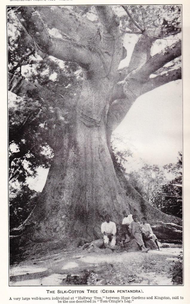 cotton tree